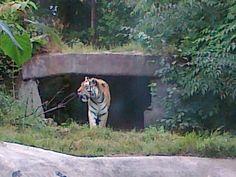 Amur Tiger, after supper