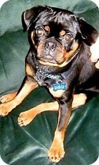St Paul, MN - Pug/Miniature Pinscher Mix. Meet Rocky the Pug, a dog for adoption. http://www.adoptapet.com/pet/11406122-st-paul-minnesota-pug-mix