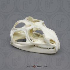 Tuatara, skull