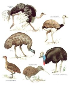 Ostrich, Greater Rhea, Common Cassowary, Brown Kiwi, Great Tinamou, Emu .....clockwise from upper left corner....World Book Encyclopedia....via My Sunshine Vintage on ETSY