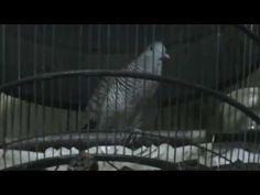 Video Burung Perkutut Manggung Durasi 7 Menit