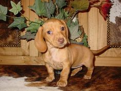 Smith's Barkery, past dachshund puppies - Chocolate based cream smooth female mini dachshund Dapple Dachshund Puppy, Mini Dachshund, Cream Dachshund, Puppies With Blue Eyes, Baby Animals, Cute Animals, Dachshund Quotes, Fur Babies, Smooth
