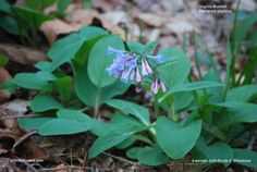 US Wildflower - Virginia Bluebells - Mertensia virginica