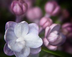 Complex Lilac Blossoms- 8x10 Color Photograph, Flower, Spring, Lilac, Garden, Fine Art Print. $12.00, via Etsy.