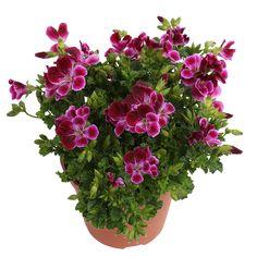 Angeleyes Burgundy #angel #pelargonium #richflowering #small #flowers