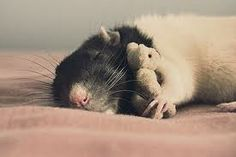 cute rats with teddy bears - Google Search