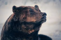 northerntendencies:  jaws-and-claws:  Grizzly on Grouse by =studpup Regal.