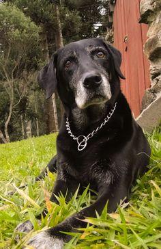 Lola, my 13 years old labrador.