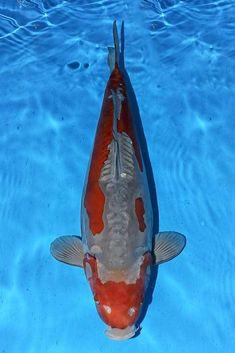 Koi Fish Colors, Japanese Koi, Colours, Animals, Koi Carp, Animales, Animaux, Animal, Animais