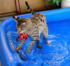 The rights of Californians to own Savannah and Bengal cats are at risk! Please read why and help us to STOP THE BAN! ~ http://juaini.com/wp/rights-at-risk/  6/26/14