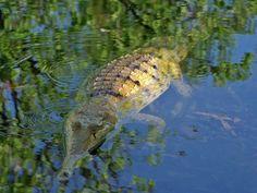 Free Photo, Free Image, Public Domain, Western Australia, Katherine, Billabong, River, Predator