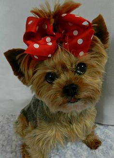 Yorkie Dogs, Yorkies, Puppies, Teddy Bear, Bows, Buttons, Animals, Beautiful, Arches