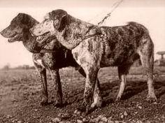 Berger de savoie,  French Alpine Mastiff (Savoy Sheepdog)