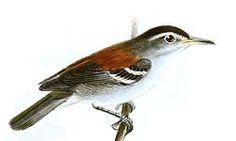 Terenura spodioptila Keulemans.jpg  El tiluchí piojito3 (Euchrepomis spodioptila), también denominado hormiguerito piojito (en Venezuela), hormiguerito lomirrojo (en Colombia) u hormiguerito de ala ceniza (en Perú),2 es una especie de ave paseriforme perteneciente al género Euchrepomis de la familia Thamnophilidae. Hasta recientemente estaba incluido en el género Terenura, de donde fue separada en 2012