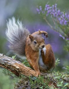 ☀Red Squirrel with an itch (by David C Walker 1967)