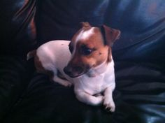 Mickey is a 6 year old, neutered JRT looking for a new home because he is being mistreated by a 2 year old child.  He will need a home with children that are being taught how to treat him properly and would probably do best with older children.   ...