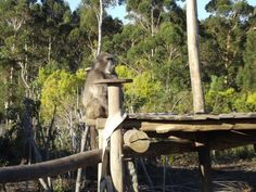 Chacma baboons have been on the Cape Peninsula for over 1 million years. However, unless trends change, the remaining 250 Chacma baboons of the Cape South Peninsula face extinction within 10 years.    In 2005, 50% of baboon deaths were caused by humans and by 2008, this had increased to 70%. Most of these deaths were from vehicles or guns. Orangutans, Chimpanzee, Baboon, 10 Years, Garden Sculpture, Cape, Om, Guns, Trends