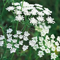 This easy-growing cut flower offers umbrella-shaped clusters of lacy blooms in mid to late summer: http://www.bhg.com/gardening/design/color/white-flower-garden-ideas/?socsrc=bhgpin053114queenanneslace&page=11