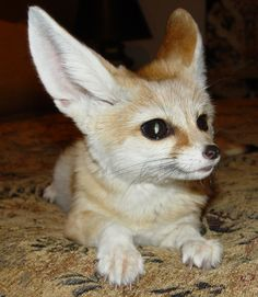 Bengal Fox | Fennec Fox ,Bengal Cat ,Siberian lynx And Other Exotic Pets For Sale ...