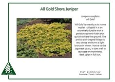 Juniperus-conferta-AllGold, purchased in 2015 for $20 at Marbotts