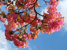 ipê roxo (ype- tabebuia heterophylla) trumpette tree- from my window sao paulo brazil by mauroguanandi, via Flickr