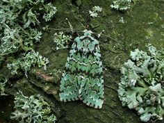 #moth #moss #camouflage