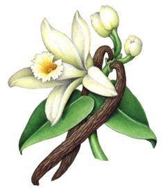 Vanilla flower with leaves, buds and two vanilla beans