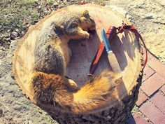 How to field dress a squirrel-WARNING GRAPHIC DEPICTION-if you are squeamish DO NOT view the attached video!
