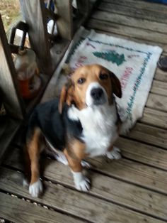 Missing beagle Raleigh County, WV Missing since January 2015 Please call: 304-877-2601 if you have seen this beagle or have any information Lost spruce mt area around a month ago. If seen please call 304 877 2601