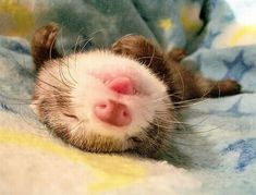 Cute Ferret Sleeping On It's Back With Tongue Out