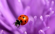 Image result for images of ladybugs on flowers