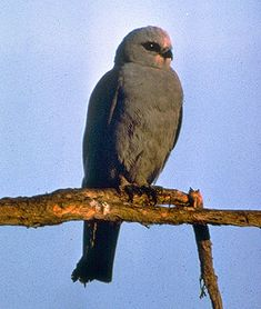 Mississippi Kite _    A graceful flier, this kite is agile enough to catch dragonflies on the wing!