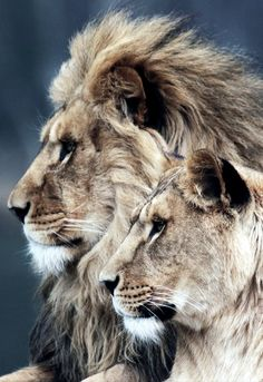 BLACK BLUE - African Lion (by Safi Kok) - adorables funny graciosos hermosos salvajes tatuajes animales Lion Images, Lion Pictures, Animal Pictures, Beautiful Cats, Animals Beautiful, Lion Couple, Animals And Pets, Cute Animals, Rare Albino Animals