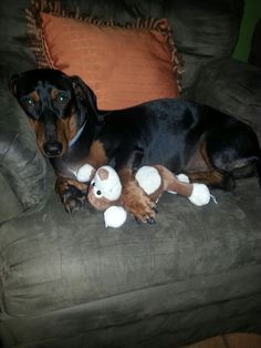 Dachshund dog I love you