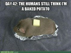 Guinea Pig... potato...