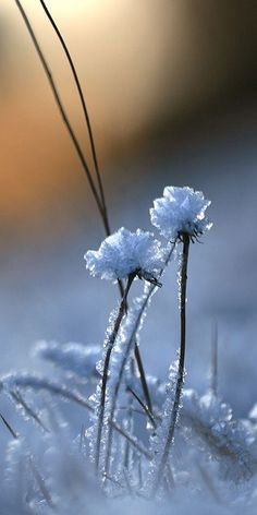 Winter beauty - Snow forms ice crystal flowers on blades of grass in a winter field.
