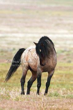 Wild horse, aka mustang, by Barbara Wheeler Photography Most Beautiful Animals, Beautiful Horses, Beautiful Creatures, Beautiful Pictures, Horse Photos, Horse Pictures, Pretty Horses, Horse Love, Animals And Pets