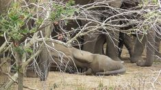 I saw this parade of elephants sleeping some with open eyes and others closed eyes - they stand all around one sleeping on the ground - I thought he/she was . Kruger National Park, National Parks, Down The River, Closed Eyes, Elephants, Sleep, Elephant