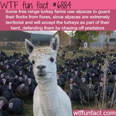 Alpacas guarding turkey farms - WTF fun facts