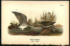 Solitary Sandpiper: 1890 Bird Warren Chromolithograph