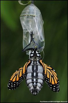 Monarch Butterfly hatching but before he's had a chance to pump his wings to their normal size. We used to watch these in school Beautiful Bugs, Beautiful Butterflies, Butterfly Hatching, Flying Flowers, Moth Caterpillar, A Bug's Life, Butterfly Kisses, Bugs And Insects, Monarch Butterfly