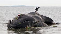 ❝ Ola de inexplicables muertes de ballenas jorobadas en la costa atlántica (Video, fotos) ❞ ↪ Vía: Entretenimiento y Noticias de Tecnología en proZesa