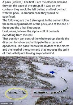How the wolf pack works.