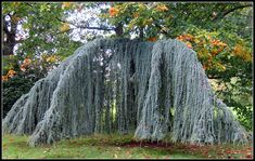 A weeping variety of the Blue Atlas Cedar tree with striking blue-green and sharply pointed needles. Its dramatic weeping branches can be staked to create any shape that you wish and the blue needles floating in the wind is a sight to behold. Evergreen Garden, Garden Trees, Garden Shrubs, Shade Garden, Home Landscaping, Landscaping With Rocks, Front Yard Landscaping, Weeping Blue Atlas Cedar, Trees And Shrubs