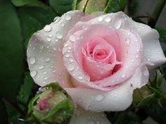 Qué rosa mas bonita
