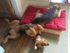 Airedale Sleep Positions # 6 and # 24