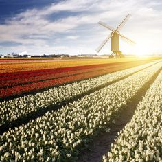 Windmill and tulips in Holland