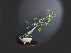 Ficus Microcarpa Bonsai Tree, Indoor Bonsai Kollektion von LiveBonsaiTree by LiveBonsaiTree on Etsy Source by… Ficus Bonsai Tree, Bonsai Fruit Tree, Pre Bonsai, Indoor Bonsai, Bonsai Art, Fruit Trees, Best Greenhouse, Greenhouse Gardening, Bonsai Nursery