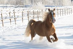 Finnish Horse (Finnhorse) Playing in the Snow