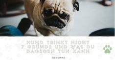 Hund trinkt nicht ▷7 Gründe und was du dagegen tun kann | tiersinne.com Hunde können einige Wochen ohne Nahrung überleben. Steht deinem Hund aber kein Wasser zur Verfügung, kann das innerhalb weniger Tage seinen Tod bedeuten. Du machst dir Sorgen, das dein Hund zu wenig trinkt?Hier kannst du mehr über die Gründe erfahren, warum dein Hund wenig trinkt und wie du sein Trinkverhalten verändern kannst. French Bulldog, Animals, Dog Accessories, Vet Office, Pooch Workout, Animales, Animaux, French Bulldog Shedding, Bulldog Frances